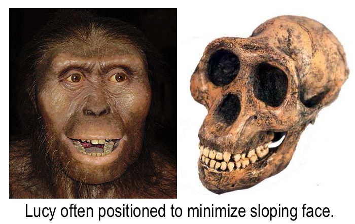 Photos of Lucy's sloping skull and recreation that minimizes that chimp-like feature...