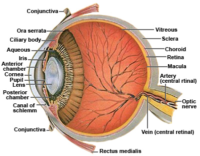 Human eye cross section