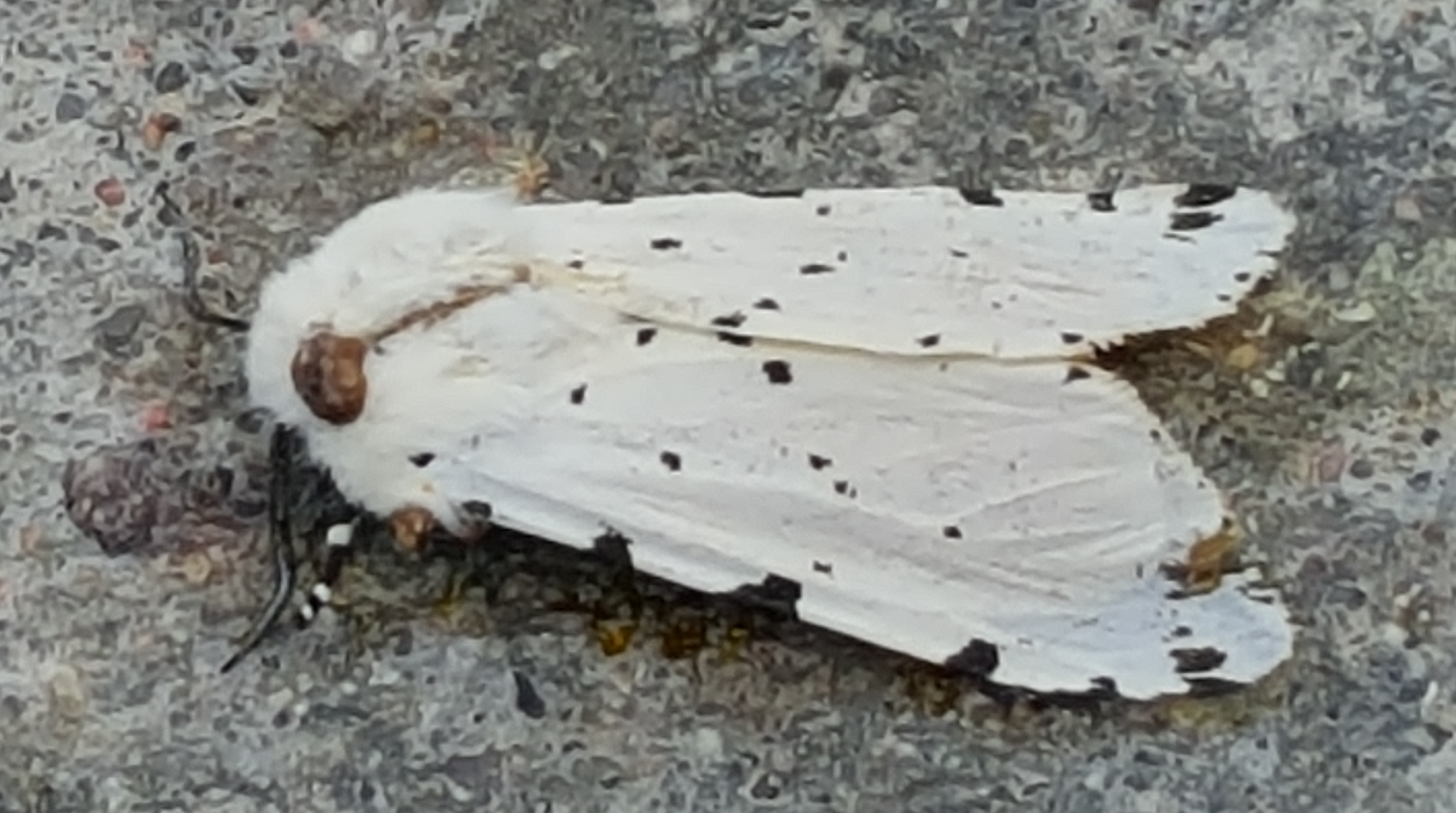 Photo of the Salt Marsh Moth