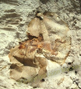Photo of polystrate leaves buried in diatomaceous earth