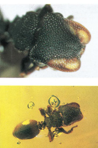 Apparently identical living and amber-fossilized unique ant species zacryptocerus aztecus